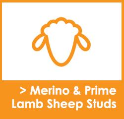 Sheep Stud Websites